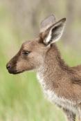 western-grey-kangaroo-picture;western-grey-kanagroo;black-faced-kangaroo;mallee-kangaroo;macropus-fuliginosus;western-grey-kangaroo-female;kangaroo;female-kangaroo;flinders-ranges-national-park;wilpena;south-australia-national-park;kangaroo-portrait;kangaroo-head-shot