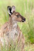 western-grey-kangaroo-picture;western-grey-kanagroo;black-faced-kangaroo;mallee-kangaroo;macropus-fuliginosus;western-grey-kangaroo-male;kangaroo;male-kangaroo;flinders-ranges-national-park;wilpena;south-australia-national-park