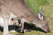 western-grey-kangaroo-picture;western-grey-kanagroo;black-faced-kangaroo;mallee-kangaroo;macropus-fuliginosus;western-grey-kangaroo-with-joey;kangaroo-with-joey;joey-in-pouch;baby-kangaroo-in-pouch;mother-kangaroo-with-joey;kangaroo;female-kangaroo;flinders-ranges-national-park;wilpena;south-australia-national-park