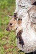 western-grey-kangaroo-picture;western-grey-kanagroo;black-faced-kangaroo;mallee-kangaroo;macropus-fuliginosus;western-grey-kangaroo-with-joey;kangaroo-with-joey;joey-in-pouch;baby-kangaroo-in-pouch;safe;cozy;mother-kangaroo-with-joey;kangaroo;female-kangaroo;flinders-ranges-national-park;wilpena;south-australia-national-park