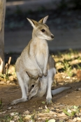 agile-wallaby;wallaby;wallby-with-joey;joey-in-pouch;joey;macropus-agilis;mataranka;elsey-national-park;northern-territory-national-park