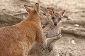 agile-wallaby-picture;agile-wallaby;young-agile-wallaby;macropus-agilis;wallaby;wallabies;australian-wallaby;australian-wallabies;queensland-wallaby;australian-marsupials;australian-macropods;australian-kangaroos;kangaroos;eye-contact;kangaroos-hugging;hugging;hug;hug-me;wildlife-habitat