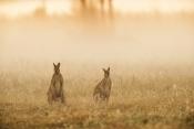 agile-wallaby-picture;agile-wallaby;agile-wallaby-pair;macropus-agilis;wallaby;wallabies;australian-wallaby;australian-wallabies;northern-territory-wallaby;northern-territory-wallabies;mary-river;kakadu;northern-territory;the-top-end;australian-marsupials;australian-macropods;australian-kangaroos;kangaroos;fog;haze;sunrise