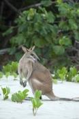 kangaroo-eating;agile-wallaby;macropus-agilis;cape-hillsborough-national-park;kangaroo-on-beach