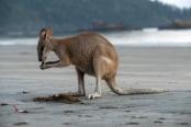 kangaroo-eating;kangaroo-eating;agile-wallaby;macropus-agilis;cape-hillsborough-national-park;kangaroo-on-beach