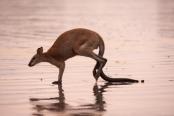 kangaroo-hopping;agile-wallaby;macropus-agilis;cape-hillsborough-national-park;kangaroo-on-beach