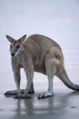 agile-wallaby;macropus-agilis;cape-hillsborough-national-park;kangaroo-on-beach