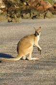 agile-wallaby;macropus-agilis;cape-hillsborough-national-park;queensland-national-park;wallaby-on-the-beach;kangaroo-on-the-beach