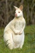 albino-kangaroo;albino-bennetts-wallaby;bennetts-wallaby;albino;albino-animal;albino-mammal;bruny-island;south-bruny-island;adventure-bay;tasmania;macropus-rufogriseus;bennetts-wallaby;male-bennetts-wallaby
