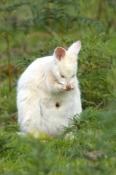 albino-kangaroo;albino-bennetts-wallaby;bennetts-wallaby;albino;bruny-island;tasmania;macropus-rufogriseus;bennetts-wallaby;wallaby-grooming;kangaroo-grooming;grooming;south-bruny-island