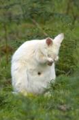 albino-kangaroo;albino-bennetts-wallaby;bennetts-wallaby;albino;bruny-island;tasmania;macropus-rufogriseus;wallaby-grooming;kangaroo-grooming;grooming;south-bruny-island;bennetts-wallaby