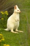 Albino Bennetts Wallaby