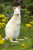 albino-kangaroo;albino-bennetts-wallaby;bennetts-wallaby;albino;albino-animal;albino-mammal;bruny-island;south-bruny-island;adventure-bay;tasmania;macropus-rufogriseus;bennetts-wallaby