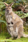 wallaby;bennetts-wallaby;bennetts-wallaby;bruny-island;south-bruny-island;tasmania;red-necked-wallaby;macropus-rufogriseus;adventure-bay