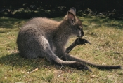 AUSTRALIA;GROOMING;KANGAROOS;MAMMALS;MARSUPIALS;VERTEBRATES;WALLABIES;cradle-mountain-lake-st-clair-national-park;tasmania