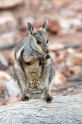 black-footed-rock-wallaby-picture;black-flanked-rock-wallaby-picture;black-footed-rock-wallaby;black-flanked-rock-wallaby;petrogale-lateralis;wallaby-cleaning-paws;wallaby-cleaning-face;small-rock-wallaby;central-australia-wallaby;australian-wallabies;australian-rock-wallabies;cute-wallaby;cute-animal;small-marsupial;small-macropod;heavitree-gap;central-australia;alice-springs;northern-territory;australian-wildlife;steven-david-miller