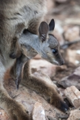 black-footed-rock-wallaby-joey-picture;black-flanked-rock-wallaby-joey-picture;black-footed-rock-wallaby-joey;black-flanked-rock-wallaby-joey;petrogale-lateralis;female-rock-wallaby-with-joey;female-rock-wallaby;small-rock-wallaby;central-australia-wallaby;australian-wallabies;australian-rock-wallabies;cute-wallaby;cute-baby-animal;cute-furry-animal;cute-baby-kangaroo;small-marsupial;small-macropod;heavitree-gap;central-australia;alice-springs;northern-territory;australian-wildlife;steven-david-miller