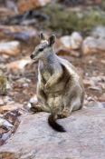black-footed-rock-wallaby-picture;black-flanked-rock-wallaby-picture;black-footed-rock-wallaby;black-flanked-rock-wallaby;petrogale-lateralis;small-rock-wallaby;central-australia-wallaby;australian-wallabies;australian-rock-wallabies;cute-wallaby;cute-animal;small-marsupial;small-macropod;heavitree-gap;central-australia;alice-springs;northern-territory;australian-wildlife;steven-david-miller