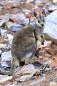 black-footed-rock-wallaby-picture;black-flanked-rock-wallaby-picture;black-footed-rock-wallaby;black-flanked-rock-wallaby;wallaby-with-joey;kangaroo-with-joey;petrogale-lateralis;small-rock-wallaby;central-australia-wallaby;australian-wallabies;australian-rock-wallabies;cute-wallaby;cute-animal;small-marsupial;small-macropod;heavitree-gap;central-australia;alice-springs;northern-territory;australian-wildlife;steven-david-miller