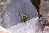 black-footed-rock-wallaby-picture;black-flanked-rock-wallaby-picture;black-footed-rock-wallaby;black-flanked-rock-wallaby;petrogale-lateralis;small-rock-wallaby;central-australia-wallaby;australian-wallabies;australian-rock-wallabies;cute-wallaby;cute-animal;small-marsupial;small-macropod;simpsons-gap;west-macdonnell-ranges-national-park;central-australia;alice-springs;northern-territory;australian-wildlife;steven-david-miller