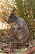rufous-bellied-pademelon-picture;rufous-bellied-pademelon;tasmanian-pademelon;red-bellied-pademelon;thylogale-billardierii;mount-field-national-park;tasmania;tasmania-national-park;australian-wallabies;australian-wildlife;marsupials;macropods;cute-animal;cute-wallaby