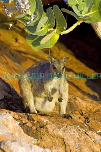 short-eared rock wallaby picture;short-eared rock wallaby;short eared rock wallaby;rock wallaby;wallaby;australian wallabies;marsupials;macropods;petrogale brachyotis;lake argyle wallaby;lake argyle