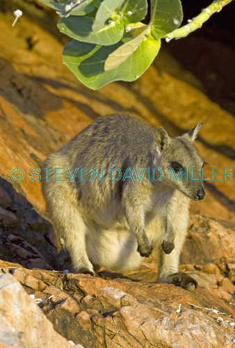 short-eared rock wallaby picture;short-eared rock wallaby;short eared rock wallaby;rock wallaby;wallaby;australian wallabies;marsupials;macropods;petrogale brachyotis;lake argyle wallaby;lake argyle