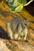 short-eared-rock-wallaby-picture;short-eared-rock-wallaby;short-eared-rock-wallaby;rock-wallaby;wallaby;australian-wallabies;marsupials;macropods;petrogale-brachyotis;lake-argyle-wallaby;lake-argyle