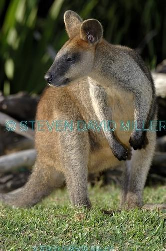 parma wallaby picture;parma wallaby;white-throated wallaby;white throated wallaby;macropus parma;wallaby;australian wallabies;australian wildlife;marsupial;macropod