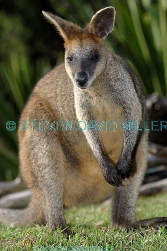 parma wallaby picture;parma wallaby;white-throated wallaby;white throated wallaby;macropus parma;wallaby;australian wallabies;australian wildlife;marsupial;macropod