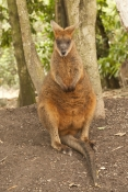swamp-wallaby-picture;black-wallaby-picture;swamp-wallaby;black-wallaby;wallabia-bicolor;australian-wallabies;australian-wallaby;wallaby-standing;wallaby;standing;wildlife-habitat;north-queensland;australian-kangaroos;steven-david-miller