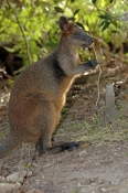 swamp-wallaby-picture;black-wallaby-picture;swamp-wallaby;black-wallaby;wallabia-bicolor;australian-wallabies;australian-wallaby;wallaby-standing;wallaby;australian-kangaroos