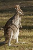 australian-national-park;australian-marsupial;australian-wallaby