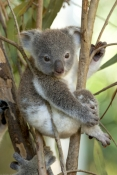 koala;baby-koala;koala-joey;phascolarctos-cinereus;baby-koala-exploring;baby-koala-near-mother;cute-baby-animal;marsupial;koala-breeding-program;cairns;queensland;hartleys-creek-zoo;steven-david-miller