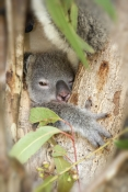 koala;baby-koala;koala-joey;phascolarctos-cinereus;koala-sleeping;baby-koala-and-mother;koala-breeding-program;cairns;queensland;hartleys-creek-zoo;steven-david-miller