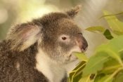 koala;male-koala;phascolarctos-cinereus;koala-eating-leaves;koala-chewing-on-leaves;koala-head-portrait;koala-breeding-program;cairns;queensland;hartleys-creek-zoo;koala-close-up;steven-david-miller