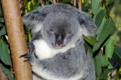 koala;koala-picture;koala-sleeping;sleepy-koala;phascolarctos-cinereus;koala-picture;furry;koala-portrait