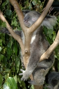 koala;koala-picture;koala-portrait;koala-in-tree;phascolarctos-cinereus;eye-contact;cute;furry;adorable;lone-pine-koala-sanctuary;koala-sleeping;koala-snoozing;sleepy-koala