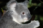 koala;koala-picture;koala-portrait;koala-in-tree;phascolarctos-cinereus;eye-contact;cute;furry;adorable;lone-pine-koala-sanctuary