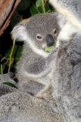 koala-picture;koala;phascolarctos-cinereus;baby-koala;koala-mother-and-baby;koala-mother-and-joey;koala-portrait;koala-joey;koala-baby;cute;adorable;furry