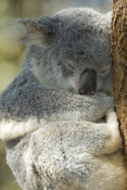 koala;phacolarctos-cinereus;koala-in-tree;koala-snoozing;captive-koala;lone-pine-koala-sanctuary;koala-picture;koala-sleeping;cute;sleepy