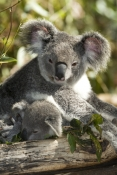 koala-joey;phacolarctos-cinereus;koala-mother-and-joey;koala-joey-with-mother;lone-pine-koala-sanctuary;cute;furry;adorable