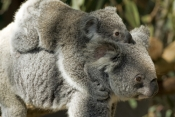 koala-joey;phacolarctos-cinereus;koala-mother-and-joey;koala-joey-on;mothers-back;lone-pine-koala-sanctuary;cute;furry;adorable