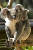 koala-joey;phacolarctos-cinereus;koala-mother-and-joey;koala-joey-on-mothers-back;lone-pine-koala-sanctuary;cute;furry;adorable
