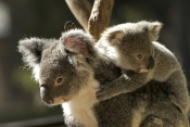koala-picture;koala;koala-joey;phacolarctos-cinereus;koala-mother-and-joey;koala-joey-on-mothers-back;lone-pine-koala-sanctuary;cute;furry;adorable