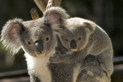 koala-joey;koala-baby;phacolarctos-cinereus;koala-mother-and-joey;koala-mother-and-baby;koala-joey-on-mothers-back;koala-baby-on-mothers-back;lone-pine-koala-sanctuary;cute;cute-baby-animal