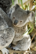 Koalas in Wildlife Parks
