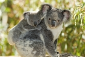 koala-joey;koala-baby;phacolarctos-cinereus;koala-mother-and-joey;koala-mother-and-baby;koala-joey-on-mothers-back;koala-baby-on-mothers-back;lone-pine-koala-sanctuary;cute;cute-baby-animal;adorable