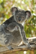 koala-joey;koala-baby;phacolarctos-cinereus;koala-mother-and-joey;koala-mother-and-baby;lone-pine-koala-sanctuary;koala;koala-picture;hugging;bear-hug;cute;cute-baby-animal
