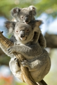 koala-joey;koala-baby;phacolarctos-cinereus;koala-mother-and-joey;koala-mother-and-baby;koala-joey-on-mothers-back;koala-baby-on-mothers-back;lone-pine-koala-sanctuary;koala-picture;koala;cute;cute-baby-animal;adorable